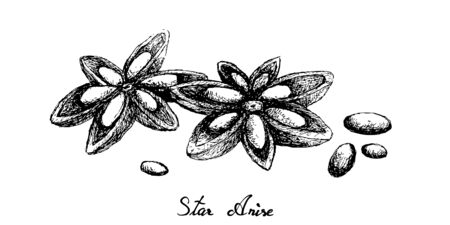 Herbal Plants, Hand Drawn Illustration of Dried Star Anise, Star Aniseed or Illicium Verum Used for Seasoning in Cooking.