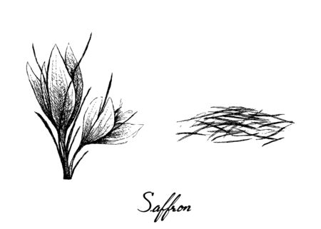 Herbal Plants, Hand Drawn Illustration of Saffron Thread and Flowers Used for Seasoning in Cooking.