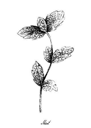 Herbal Plants, Hand Drawn Illustration of Fresh Green Peppermint or Lemon Mint Leaves Used for Seasoning in Cooking.