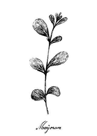 Herbal Plants, Hand Drawn Illustration of Fresh Marjoram or Origanum Majorana Plant Used for Seasoning in Cooking. Vettoriali