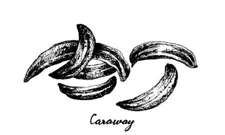 Herbal Plants, Hand Drawn Illustration of Dried Caraway, Meridian Fennel or Persian Cumin Used for Seasoning in Cooking. Vektoros illusztráció