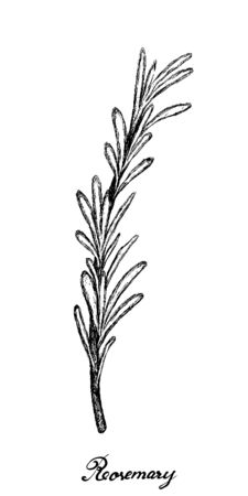 Herbal Plants, Hand Drawn Illustration of Rosemary or Rosmarinus Officinalis Plant Used for Seasoning in Cooking.