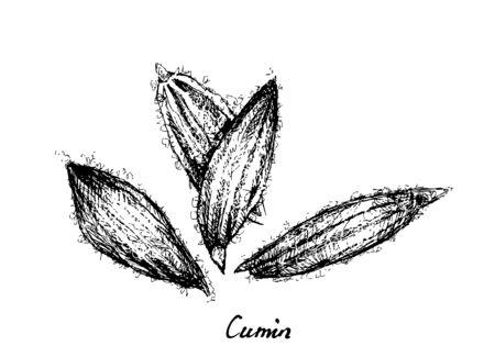 Piante di erbe, illustrazione disegnata a mano di cumino essiccato o semi di Cuminum Cyminum, utilizzati per il condimento in cucina. Vettoriali