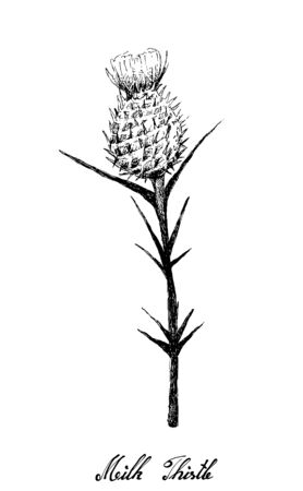 Herbal Flower and Plant, Hand Drawn Illustration of Silybum Marianum, Cardus Marianus or Milk Thistle Plant, Used to Treat Alcoholic Liver Disease and Gallbladder Problems.