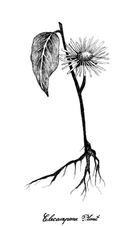 Herbal Flower and Plant, Hand Drawn Illustration of Elecampane, Inula Helenium, Horse Heal Used for Traditional Medicine and Condiment.