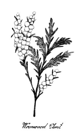 Herbal Flower and Plant, Hand Drawn Illustration of Artemisia Absinthium or Wormwood Plants with Yellow Flowers Used As A Fragrance and Traditional Medicine Has Effect on Health or Diseases.  イラスト・ベクター素材