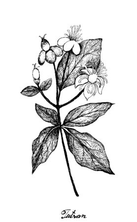 Herbal Flower and Plant, Hand Drawn Illustration of Hypericum Androsaemum, Tutsan or Sweet Amber Plant with Yellow Blossom Used For Fever Medication.