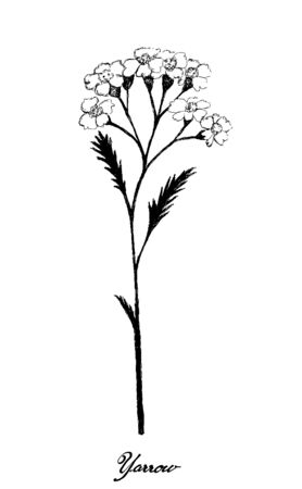 Herbal Flower and Plant, Hand Drawn Illustration of Achillea Millefolium or Yarrow Plants Used for Traditional Medicine and Herbal Mixture in The Flavouring of Beer.  イラスト・ベクター素材