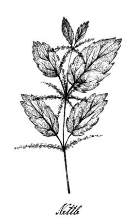 Herbal Flower and Plant, Hand Drawn Illustration of Urtica Dioica or Stinging Nettle Plant Used for Traditional Medicine, Food and Tea.