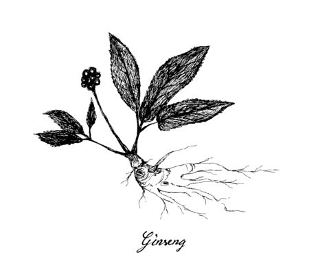 Herbal Flower and Plant, Hand Drawn Illustration of Ginseng Plants Used for Traditional Medicine Believed to Boost Energy, Lower Blood Sugar and Cholesterol Levels Иллюстрация