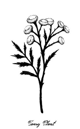 Herbal Flower and Plant, Hand Drawn Illustration of Tanacetum Vulgare, Tansy, Cow Bitter or Golden Buttons Flowers Used for Traditional Medicinal Herb.