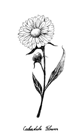 Herbal Flower and Plant, Hand Drawn Illustration of Calendula or Marigold Flower Used for Herbal and Cosmetic Products 版權商用圖片 - 134590649