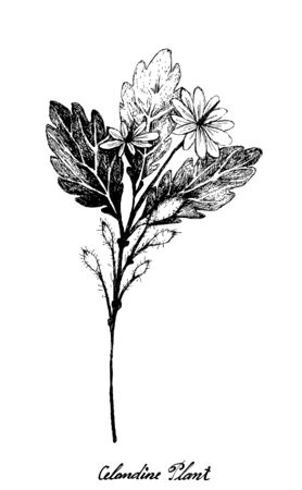 Herbal Flower and Plant, Hand Drawn Illustration of Celandine Plant Used for Traditional Medicine Has Effect on Health or Diseases.