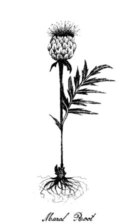 Herbal Flower and Plant, Hand Drawn Illustration of Rhaponticum Carthamoides or Maral Root Plant, Used in Alternative and Folk Medicine.
