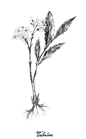 Herbal Flower and Plant, Hand Drawn Illustration of Valerian Plants Used for Traditional Medicinal with Treating Insomnia.