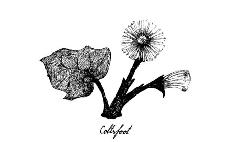 Herbal Flower and Plant, Hand Drawn Illustration of Coltsfoot or Tussilago Farfara Plant Used for Traditional Herbal Medicine in Liver Health Concerns. Иллюстрация