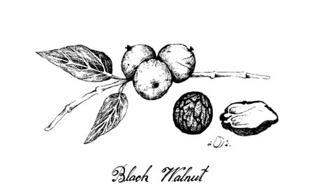 Illustration Hand Drawn Sketch of Black Walnuts or Juglans Nigra on A Tree, A Popular Ingredient to Recipes Like Bakery and Desserts.