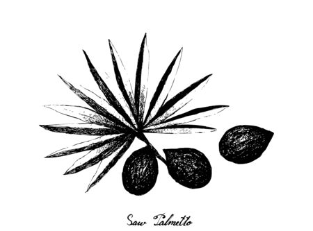 Herbal and Plant, Hand Drawn Illustration of Serenoa Repens or Saw Palmetto Berries, An Antioxidant Rich Herb Used to Improve Prostate Health, Balance Hormone Levels and Prevent Hair Loss.