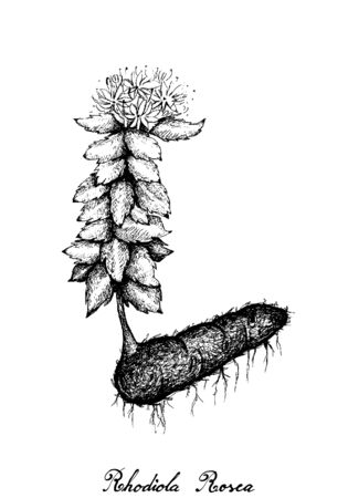 Herbal and Plant, Hand Drawn Illustration of Rhodiola Rosea, Aarons Rod, Kings Crown, Lignum Rhodium or Golden Root Used for Traditional Medicine Treatment of Anxiety and Depression.