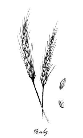 Illustration de croquis dessinés à la main tas d'orge ou Hordeum vulgare sur fond blanc, une source de matières fermentescibles pour la bière et composant de divers aliments santé. Vecteurs