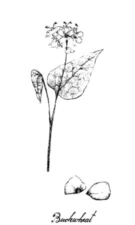Vegetable and Herb, Illustration of Hand Drawn Sketch Fagopyrum Esculentum or Buckwheat and Seed Plant Isolated on A White Background. Ilustração