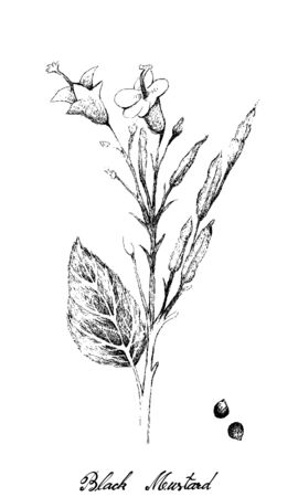 Illustration of Hand Drawn Sketch Brassica Nigra or Black Mustard Plant with Pods and Seed Isolated on White Background. Used as A Spice and Condiment.