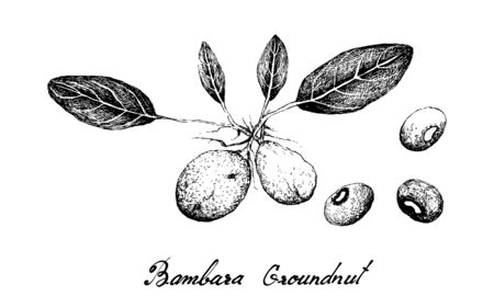Vegetable, Illustration of Hand Drawn Sketch Vigna Subterranea, Bambara Nut, Congo Goober, Earth Pea, Ground Bean or Hog Peanut Plants And Roots, Good Source of Dietary Fiber, Vitamins and Minerals.