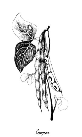 Vegetable and Herb, Illustration of Hand Drawn Sketch Cowpea or Vigna Unguiculata Plant with Podd and Seed, Good Source of Dietary Fiber, Vitamins and Minerals.
