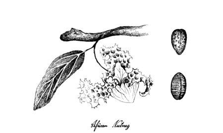 Kräuterpflanzen, handgezeichnete Illustration von frischer afrikanischer Muskatnuss oder Myristica Fragrans-Früchten und -Blumen, die zum Würzen beim Kochen verwendet werden.