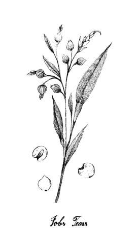 Illustrazione disegnata a mano schizzo di lacrime di Giobbe, Coixseed, Tear Grass, Hato Mugi, Adlay o Adlai isolati su sfondo bianco.