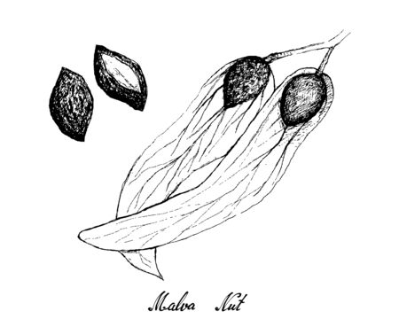 Illustration Hand Drawn Sketch of Malva Nuts on A Tree, Used in Traditional Asian Culinary and Medicine Ayurveda
