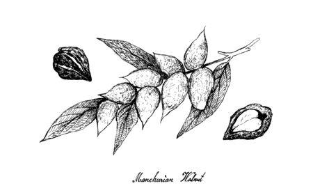 Illustration Hand Drawn Sketch Bunch of Juglans Mandshurica or Manchurian Walnut Fruits on A Tree Branch.