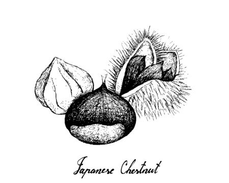 Illustration Hand Drawn Sketch of Japanese Chestnuts, Korean Chestnut or Castanea Crenata Fruits on White Background. Good Source of Dietary Fiber, Vitamins and Minerals.