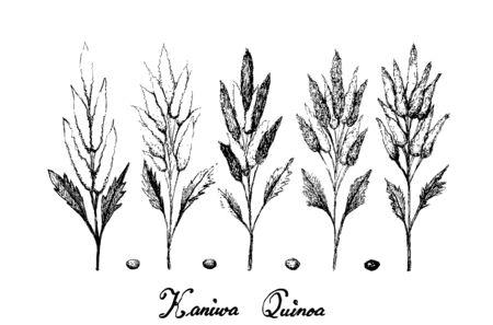 Illustration Hand Drawn Sketch of Ripe Chenopodium Pallidicaule or Kaniwa Plants and Seed Isolated on White Background. Ilustracja