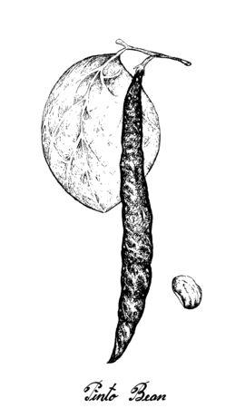 Vegetable, Illustration of Hand Drawn Sketch Fresh Phaseolus Vulgaris or Pinto Bean Isolated on White Background Illustration
