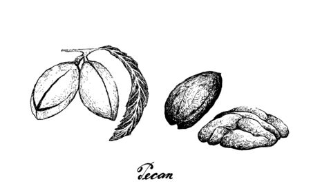 Illustration of Hand Drawn Sketch Fresh Pecan Nuts, Good Source of Dietary Fiber, Vitamins and Minerals.  Ilustração