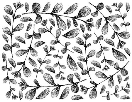 Herbal Plants, Hand Drawn Illustration Background of Fresh Marjoram or Origanum Majorana Plants Used for Seasoning in Cooking.