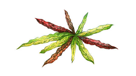 Ecological Concept, Illustration of Beautiful Green and Yellow Spot Croton Plants or Codiaeum Variegatium Plants For Garden Decor.