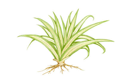 Illustration of Pandanus Veitchii Plants or Stripes Screw Pine Decoration in The Beautiful Garden. A Agave Plants with Thick and Fleshy Leaves. 向量圖像