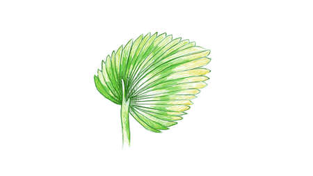 Ecology Concepts, Illustration of Licuala Orbicularis Palm, A Tropical Plant Growing in Warm Temperate Climates. 向量圖像