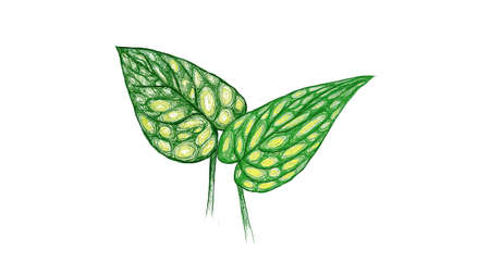 Ecology Concepts, Illustration of Monstera Peru or Karstenianum Plant.
