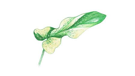 Ecology Concepts, Illustration of Green Leaf of Philodendron Bipennifolium or Fiddleleaf Philodendron Plants. Vector Illustration