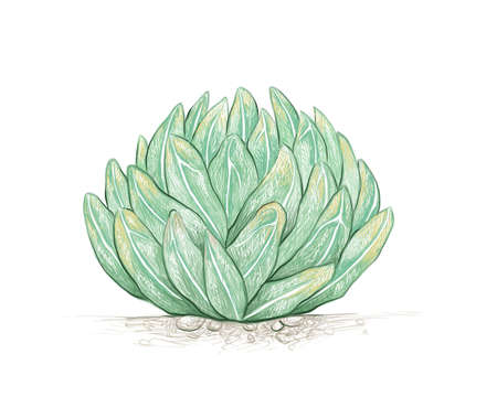 Illustration Hand Drawn Sketch of Agave Victoriae Reginae or Queen Victoria Agave Plant for Garden Decoration.