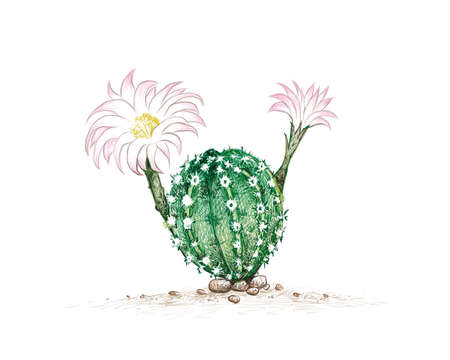 Illustration Hand Drawn Sketch of Echinopsis Cactus with Pink Flower. A Succulent Plants with Sharp Thorns for Garden Decoration.