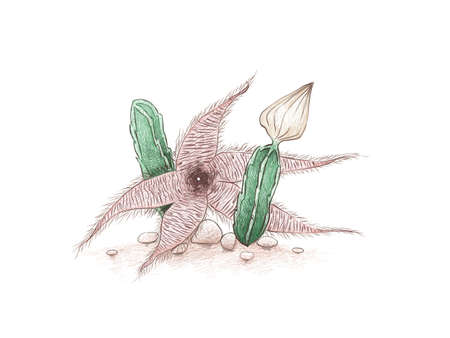 Illustration Hand Drawn Sketch of Stapelia Gigantea Cactus, Zulu Giant, Carrion Plant or Toad Plant with Flower, A Succulent Plants with Sharp Thorns for Garden Decoration. Vector Illustration