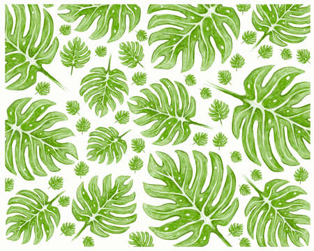 Ecology Concepts, Green Leaves of Swiss Cheese Plants or Monstera Deliciosa Background.