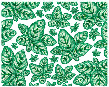 Illustration Background of Beautiful Calathea Makoyana, Cathedral Windows or Peacock Plant for Garden Decoration