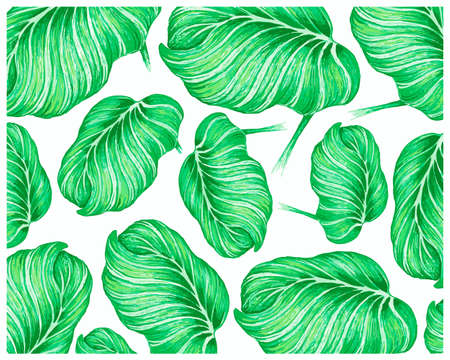 Illustration Background of Beautiful Calathea Orbifolia, Cathedral Windows or Peacock Plant for Garden Decoration. 矢量图像