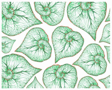 Illustration Background of Beautiful Fresh Green Begonia Leaves Isolated on A White Background.