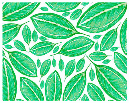 Illustration Background of Beautiful Fresh Green Catatheaium Bicolor or Schumannianthus Leaves Isolated on A White Background. 矢量图像